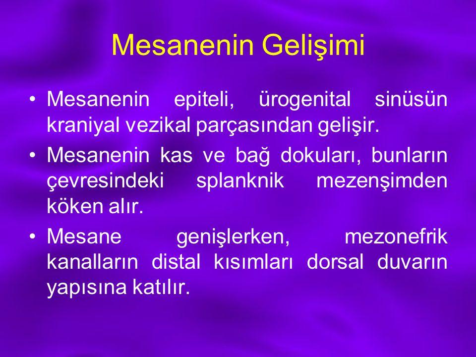 Mesanenin Gelişimi Mesanenin epiteli, ürogenital sinüsün kraniyal vezikal parçasından gelişir.
