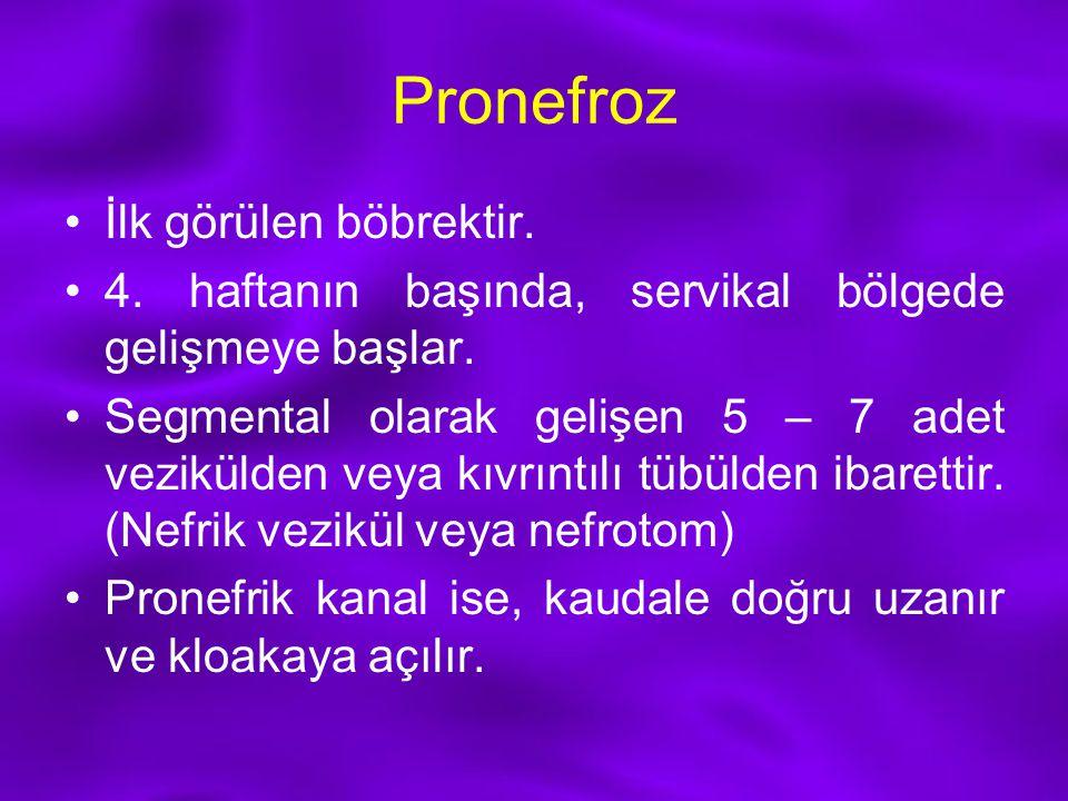 Pronefroz İlk görülen böbrektir.