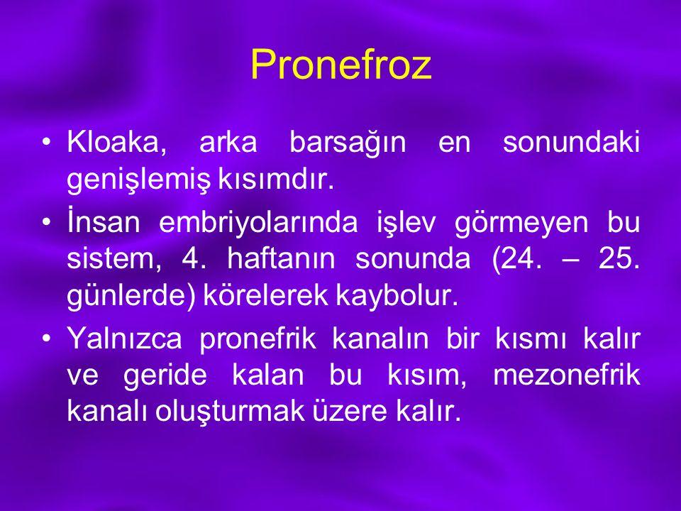 Pronefroz Kloaka, arka barsağın en sonundaki genişlemiş kısımdır.
