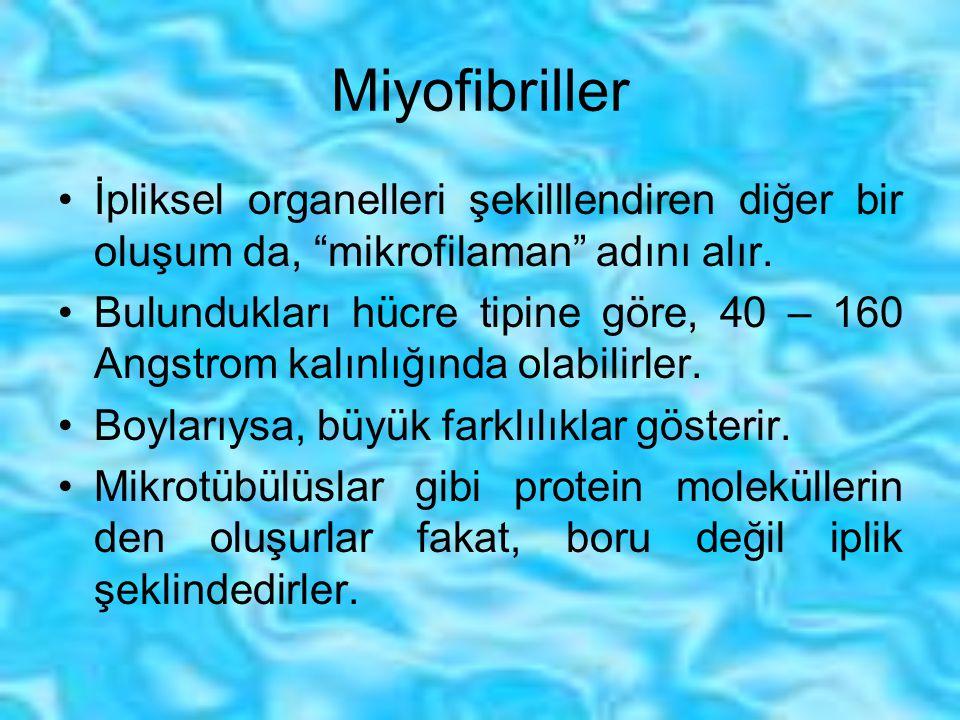 Miyofibriller İpliksel organelleri şekilllendiren diğer bir oluşum da, mikrofilaman adını alır.