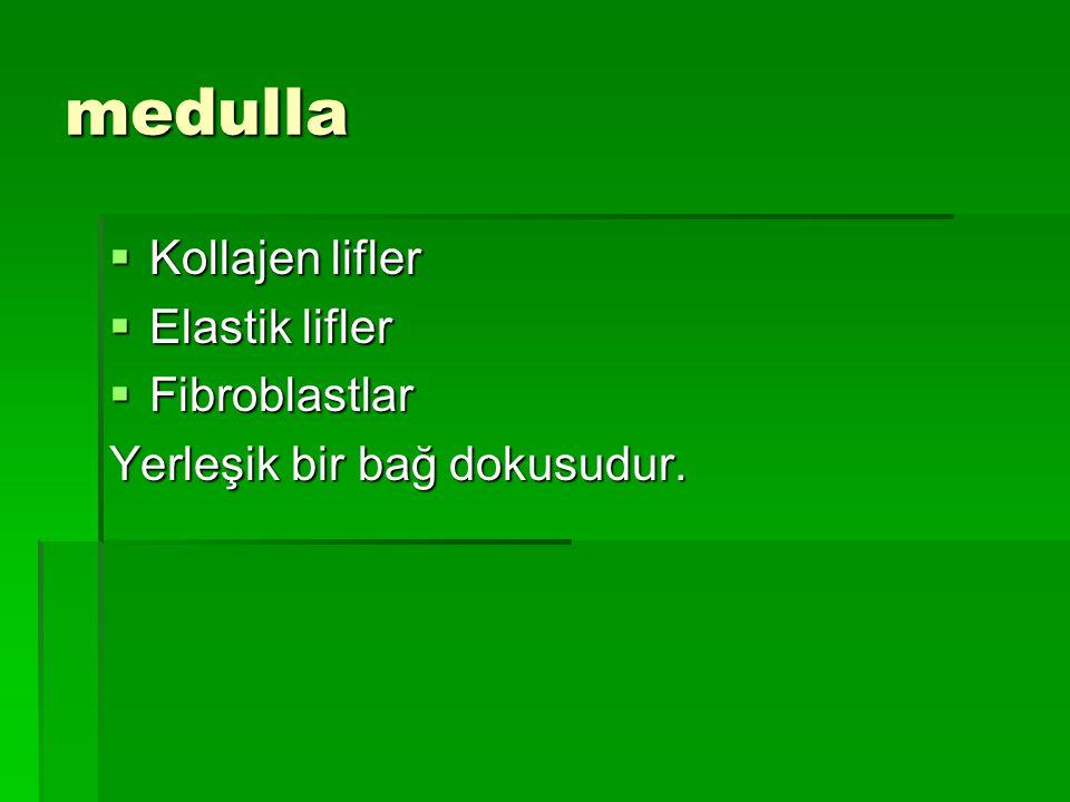 medulla Kollajen lifler Elastik lifler Fibroblastlar