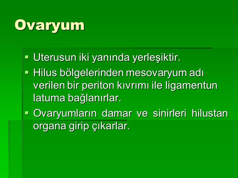 Ovaryum Uterusun iki yanında yerleşiktir.