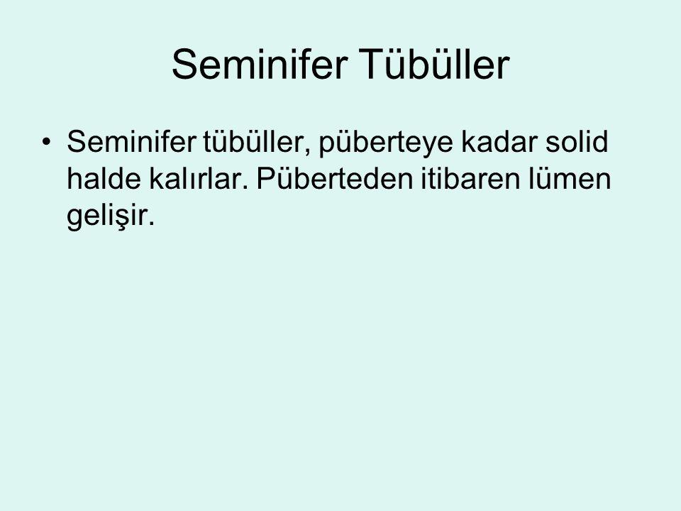 Seminifer Tübüller Seminifer tübüller, püberteye kadar solid halde kalırlar.