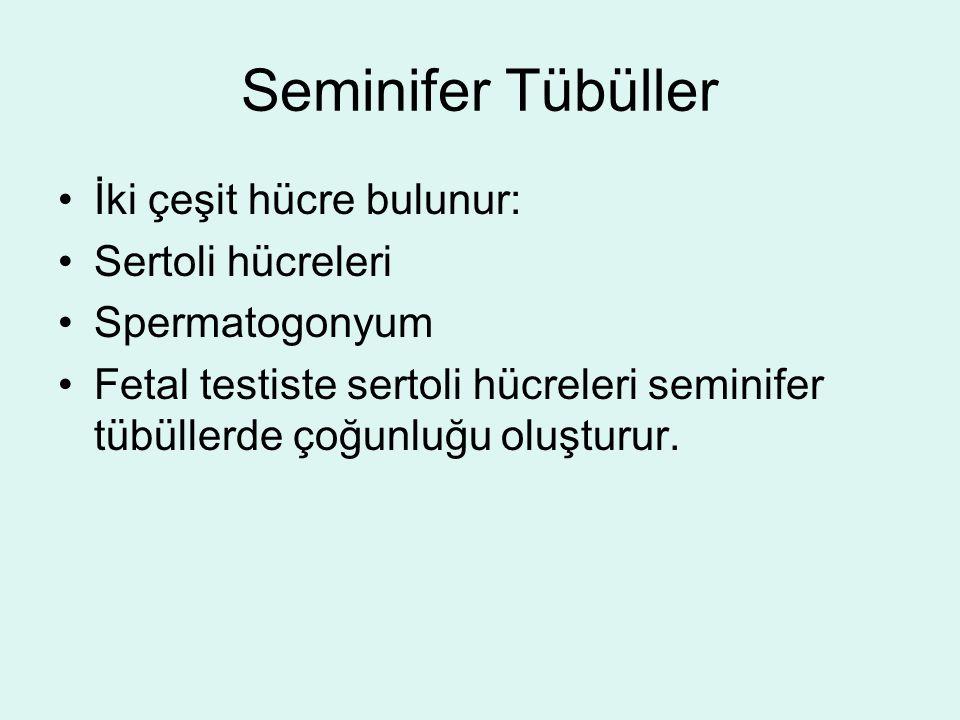 Seminifer Tübüller İki çeşit hücre bulunur: Sertoli hücreleri