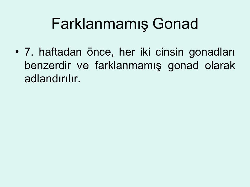Farklanmamış Gonad 7.