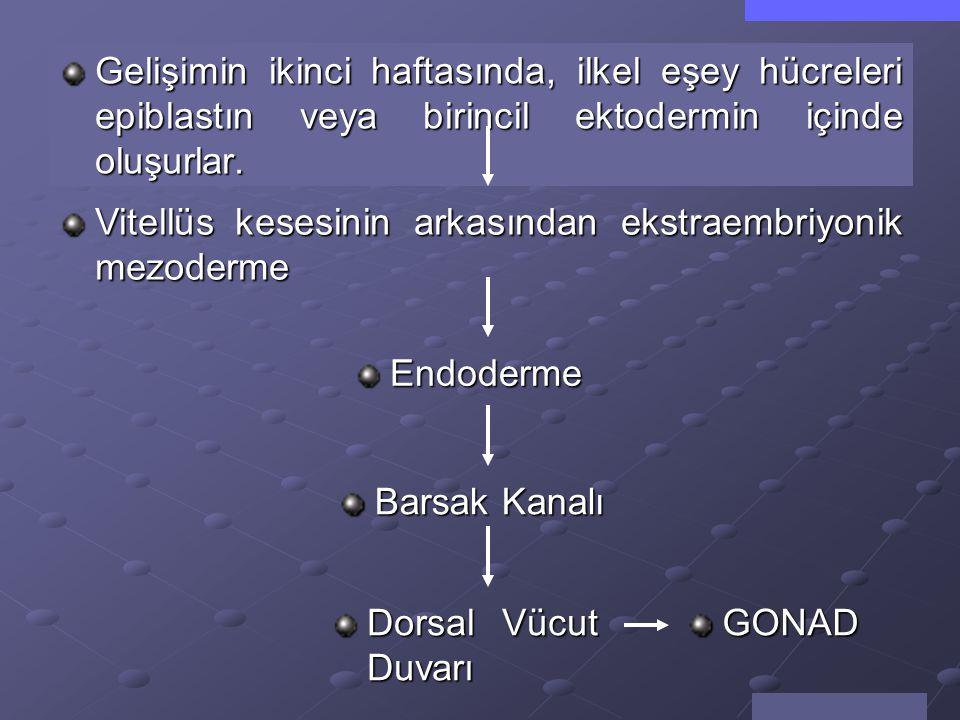 Gelişimin ikinci haftasında, ilkel eşey hücreleri epiblastın veya birincil ektodermin içinde oluşurlar.