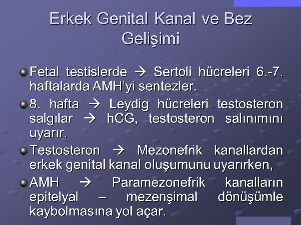 Erkek Genital Kanal ve Bez Gelişimi
