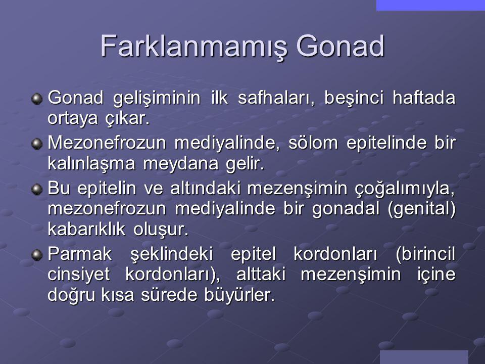 Farklanmamış Gonad Gonad gelişiminin ilk safhaları, beşinci haftada ortaya çıkar.