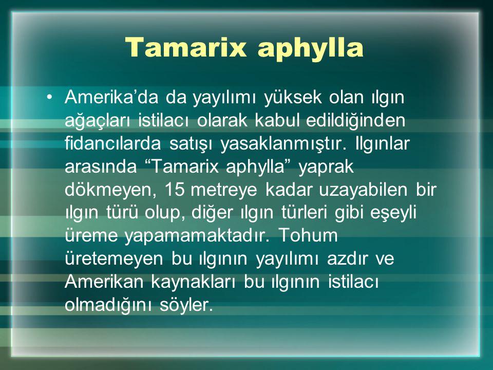 Tamarix aphylla