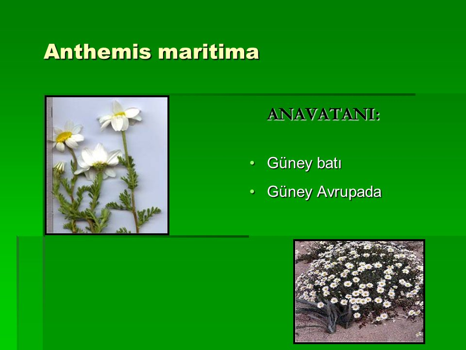 Anthemis maritima ANAVATANI: Güney batı Güney Avrupada