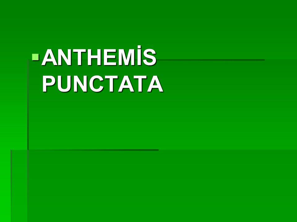 ANTHEMİS PUNCTATA