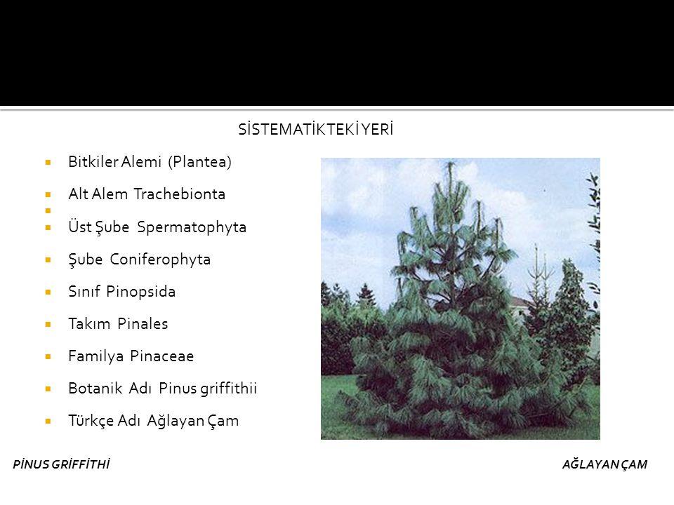 Bitkiler Alemi (Plantea) Alt Alem Trachebionta Üst Şube Spermatophyta