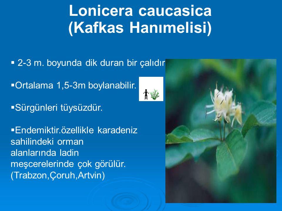 Lonicera caucasica (Kafkas Hanımelisi)