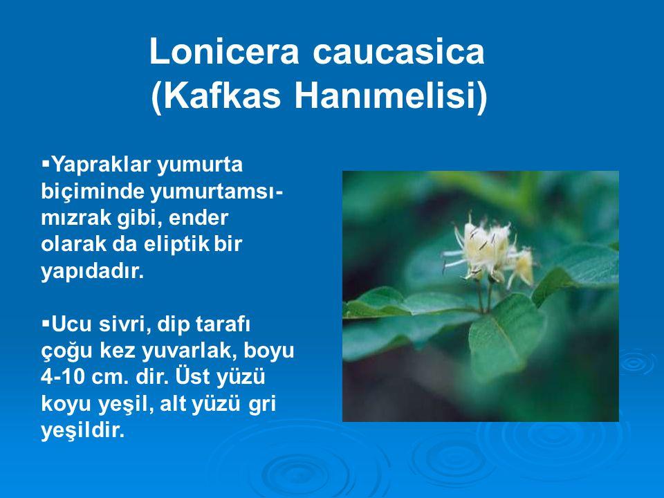 (Kafkas Hanımelisi) Lonicera caucasica