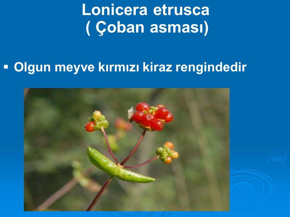 Lonicera etrusca ( Çoban asması)
