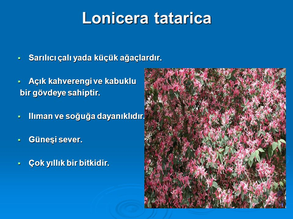 Lonicera tatarica Sarılıcı çalı yada küçük ağaçlardır.