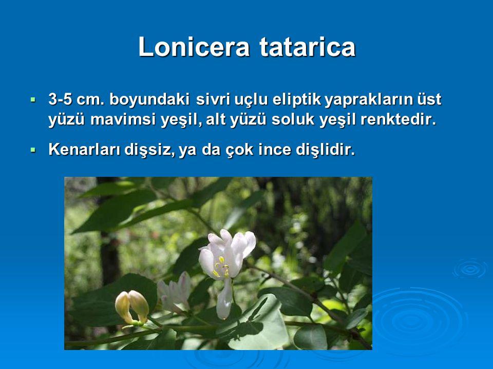 Lonicera tatarica 3-5 cm. boyundaki sivri uçlu eliptik yaprakların üst yüzü mavimsi yeşil, alt yüzü soluk yeşil renktedir.