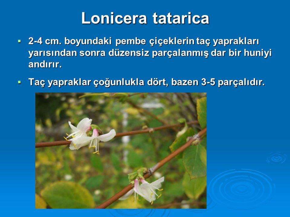Lonicera tatarica 2-4 cm. boyundaki pembe çiçeklerin taç yaprakları yarısından sonra düzensiz parçalanmış dar bir huniyi andırır.
