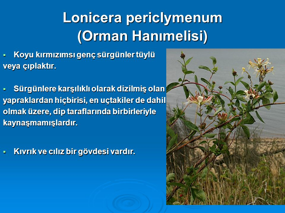 Lonicera periclymenum (Orman Hanımelisi)