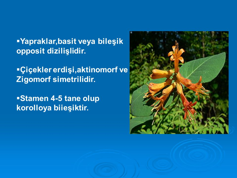Yapraklar,basit veya bileşik