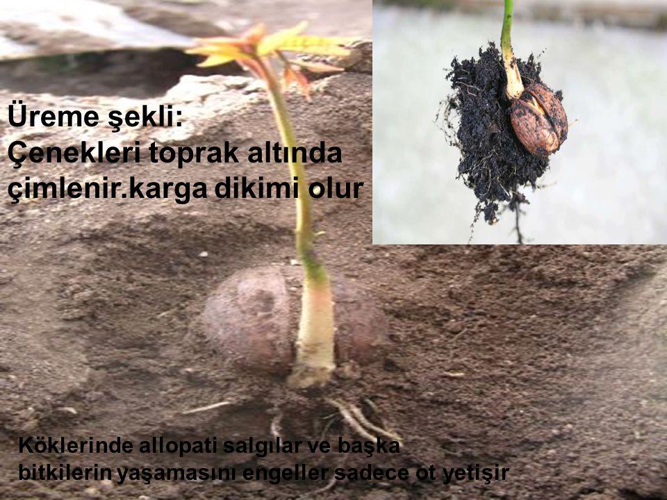 Çenekleri toprak altında çimlenir.karga dikimi olur