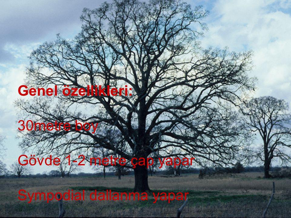Genel özellikleri: 30metre boy Gövde 1-2 metre çap yapar Sympodial dallanma yapar