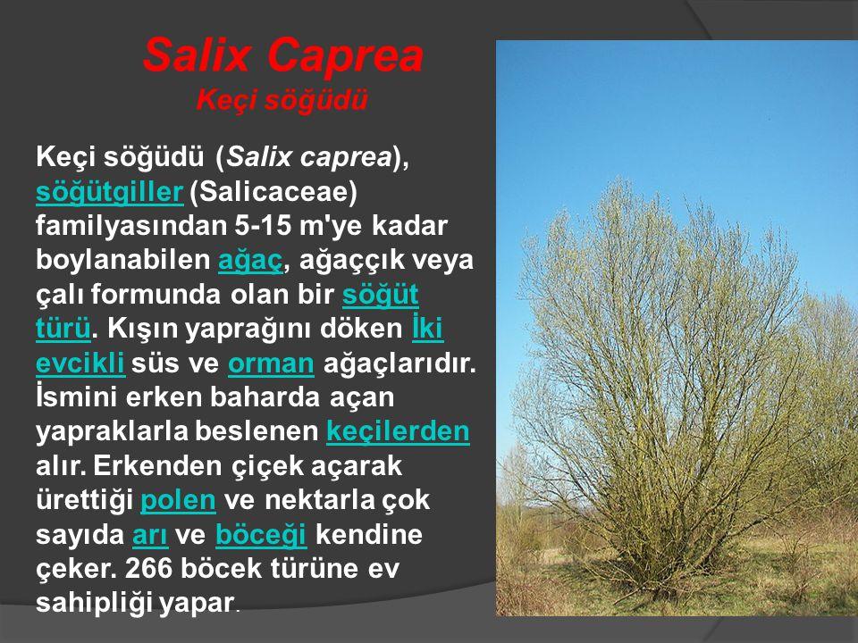 Salix Caprea Keçi söğüdü