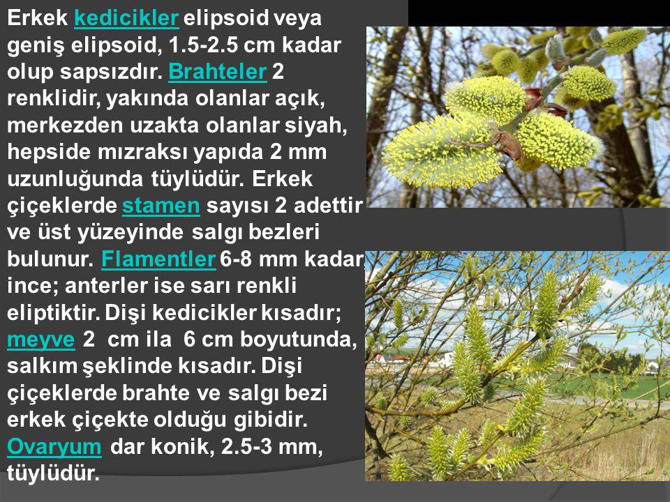 Erkek kedicikler elipsoid veya geniş elipsoid, 1. 5-2