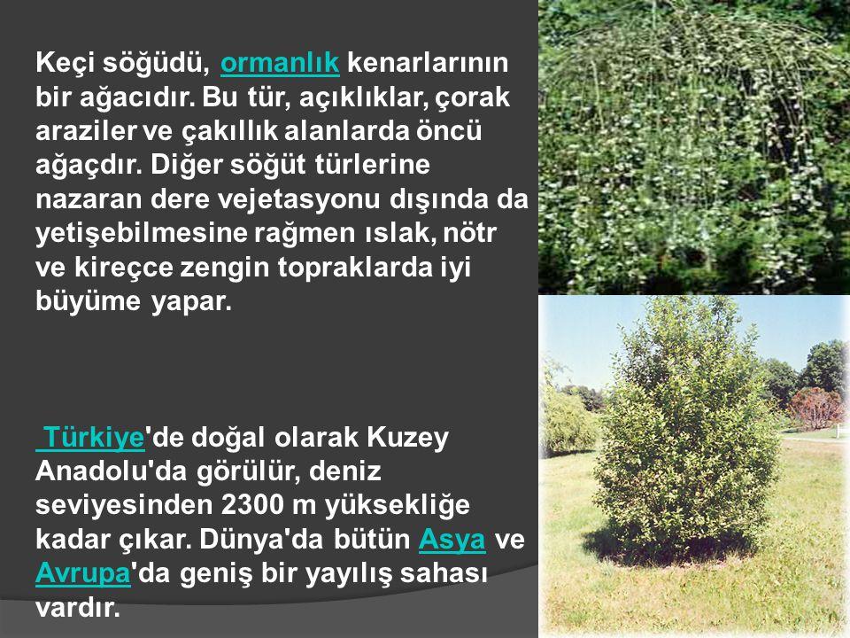 Keçi söğüdü, ormanlık kenarlarının bir ağacıdır