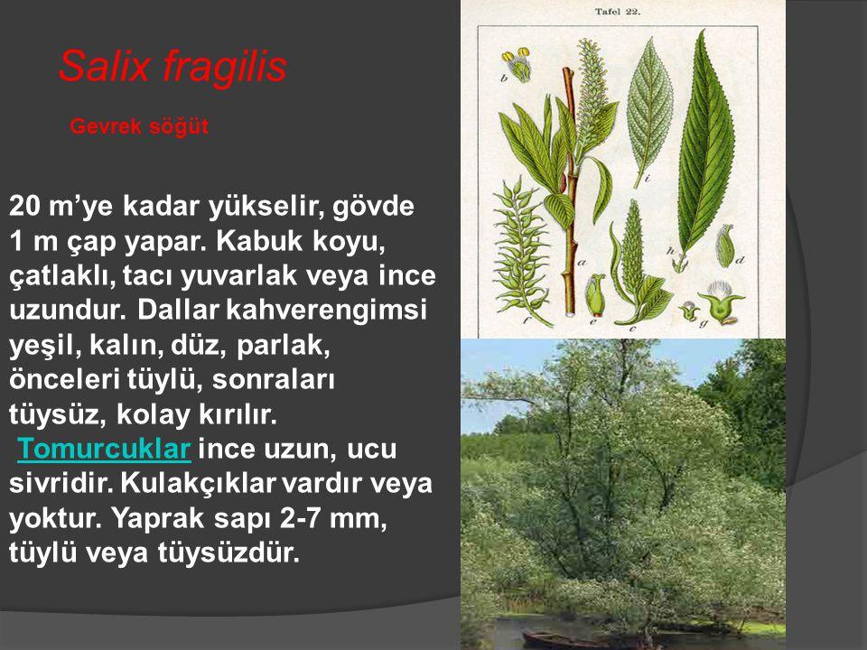 Salix fragilis Gevrek söğüt.