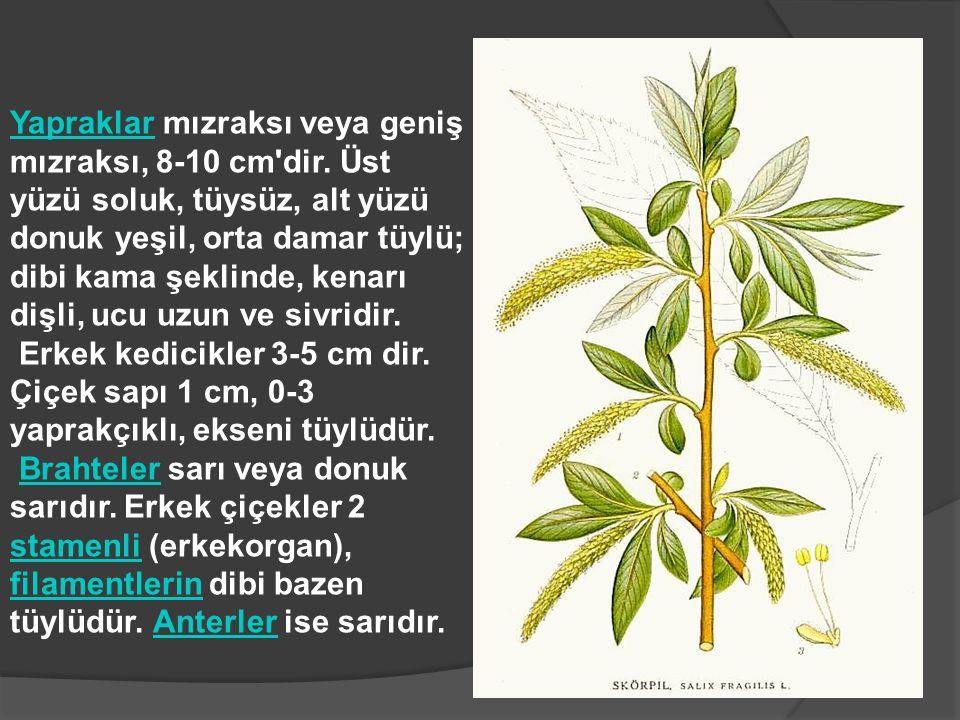 Yapraklar mızraksı veya geniş mızraksı, 8-10 cm dir