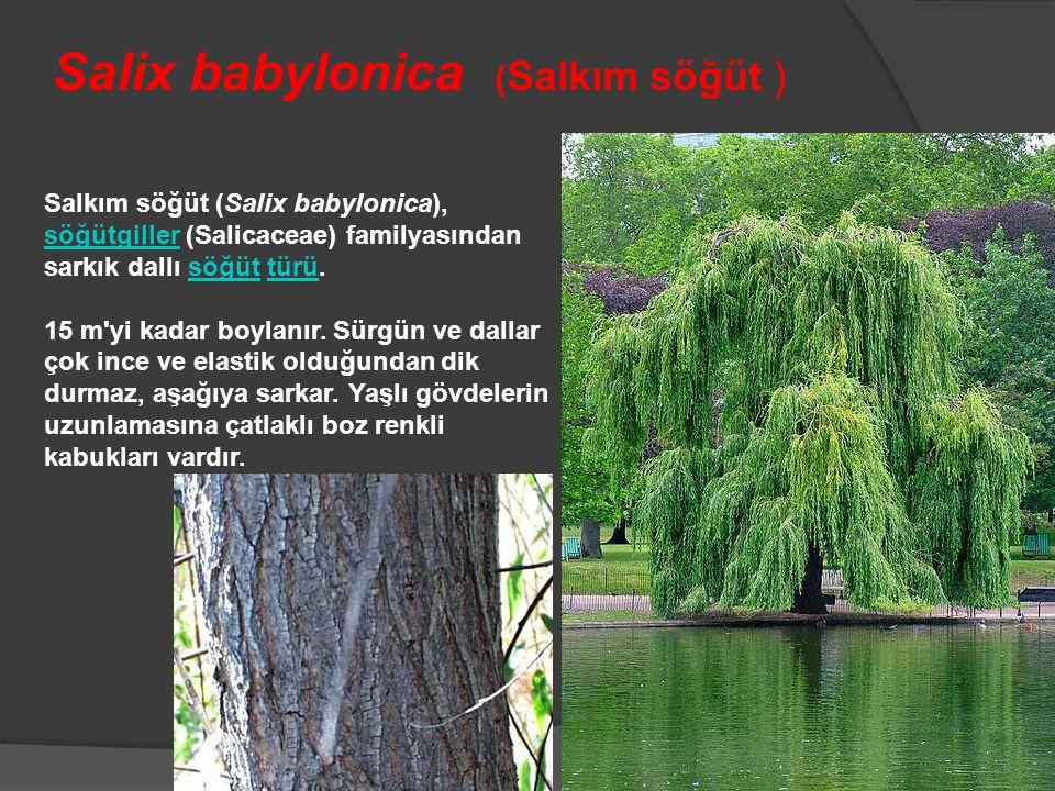 Salix babylonica (Salkım söğüt )