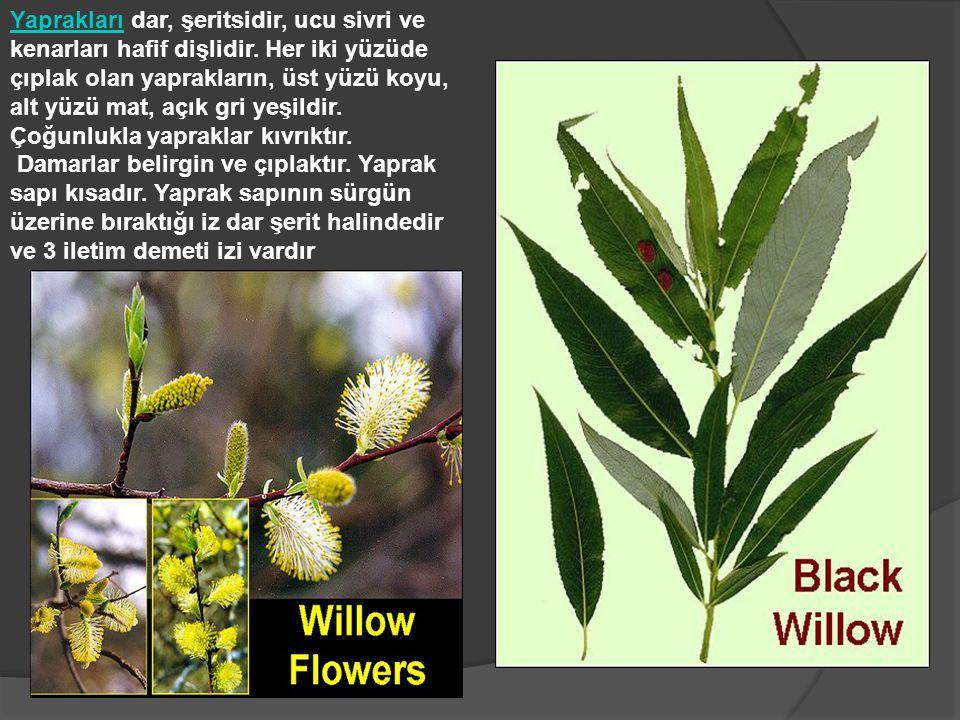 Yaprakları dar, şeritsidir, ucu sivri ve kenarları hafif dişlidir