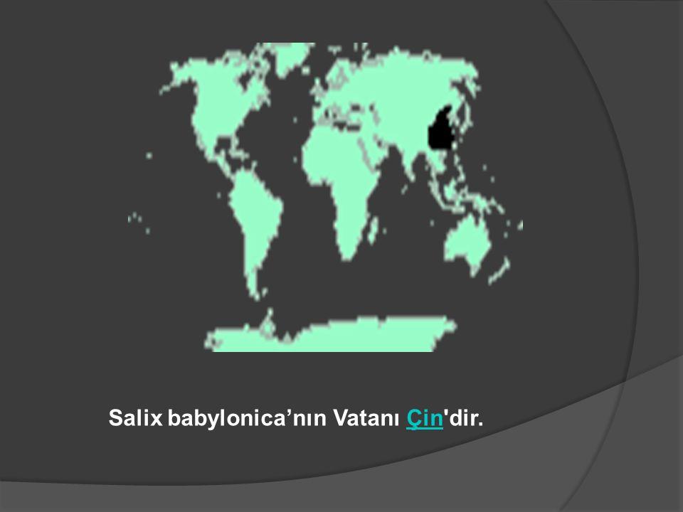 Salix babylonica'nın Vatanı Çin dir.