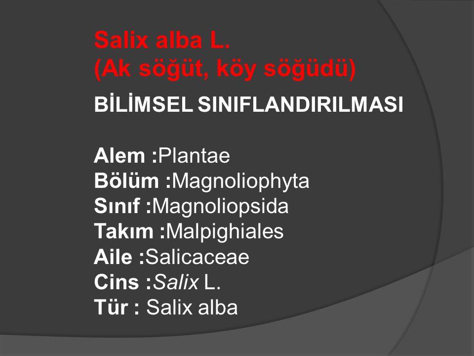 Salix alba L. (Ak söğüt, köy söğüdü)