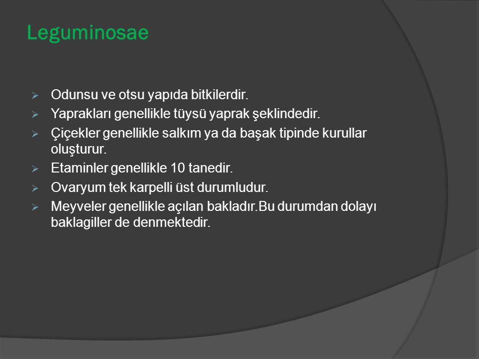 Leguminosae Odunsu ve otsu yapıda bitkilerdir.