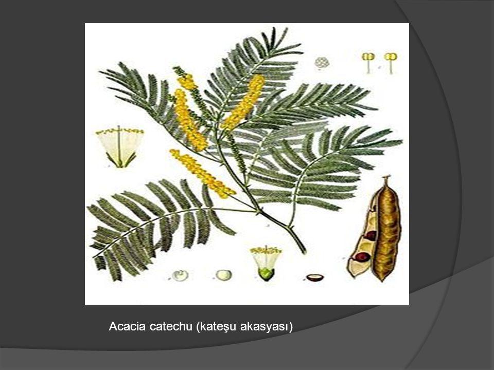 Acacia catechu (kateşu akasyası)