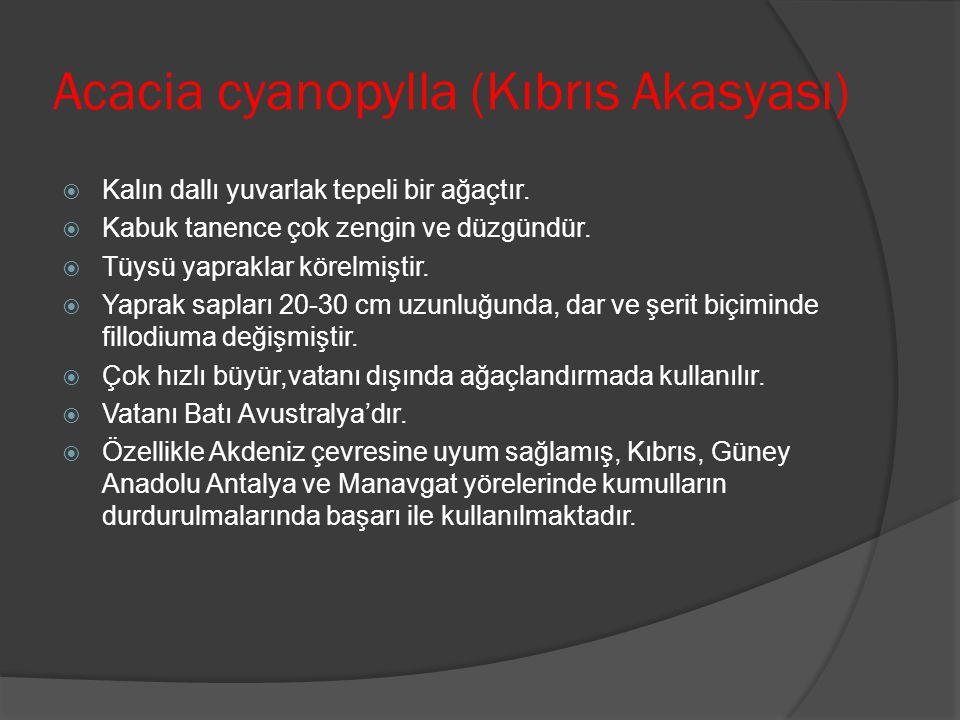 Acacia cyanopylla (Kıbrıs Akasyası)