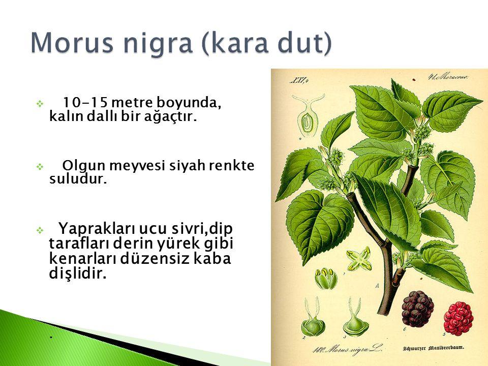 Morus nigra (kara dut) 10-15 metre boyunda, kalın dallı bir ağaçtır.