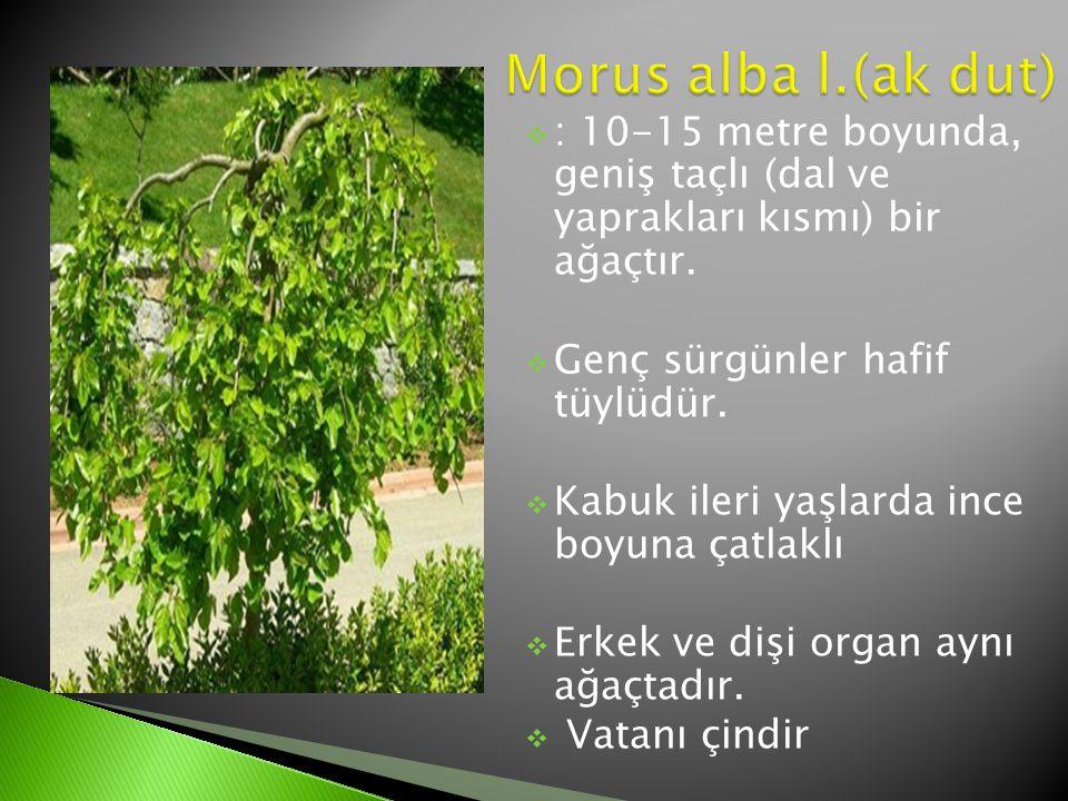 Morus alba l.(ak dut) : 10-15 metre boyunda, geniş taçlı (dal ve yaprakları kısmı) bir ağaçtır. Genç sürgünler hafif tüylüdür.