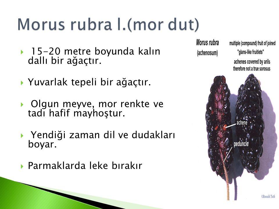 Morus rubra l.(mor dut) 15-20 metre boyunda kalın dallı bir ağaçtır.