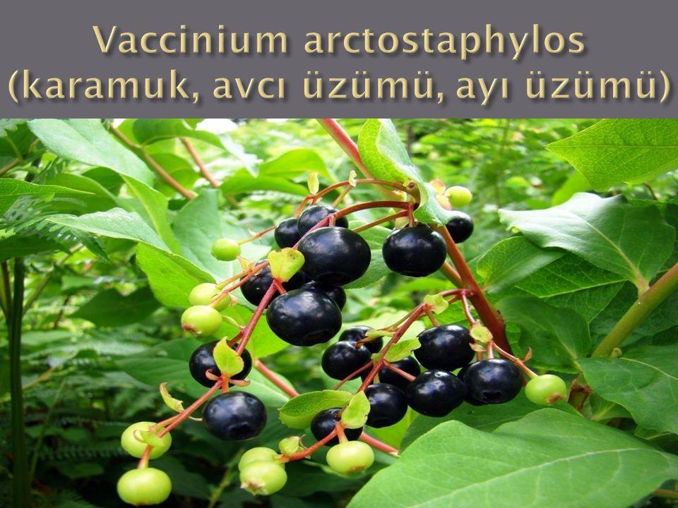 Vaccinium arctostaphylos (karamuk, avcı üzümü, ayı üzümü)
