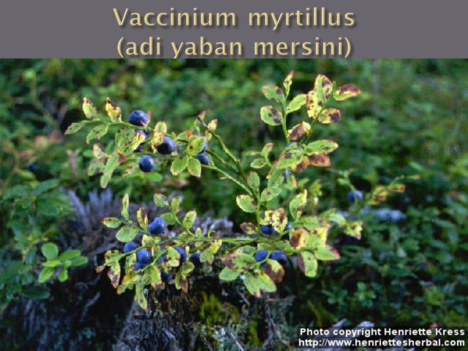 Vaccinium myrtillus (adi yaban mersini)