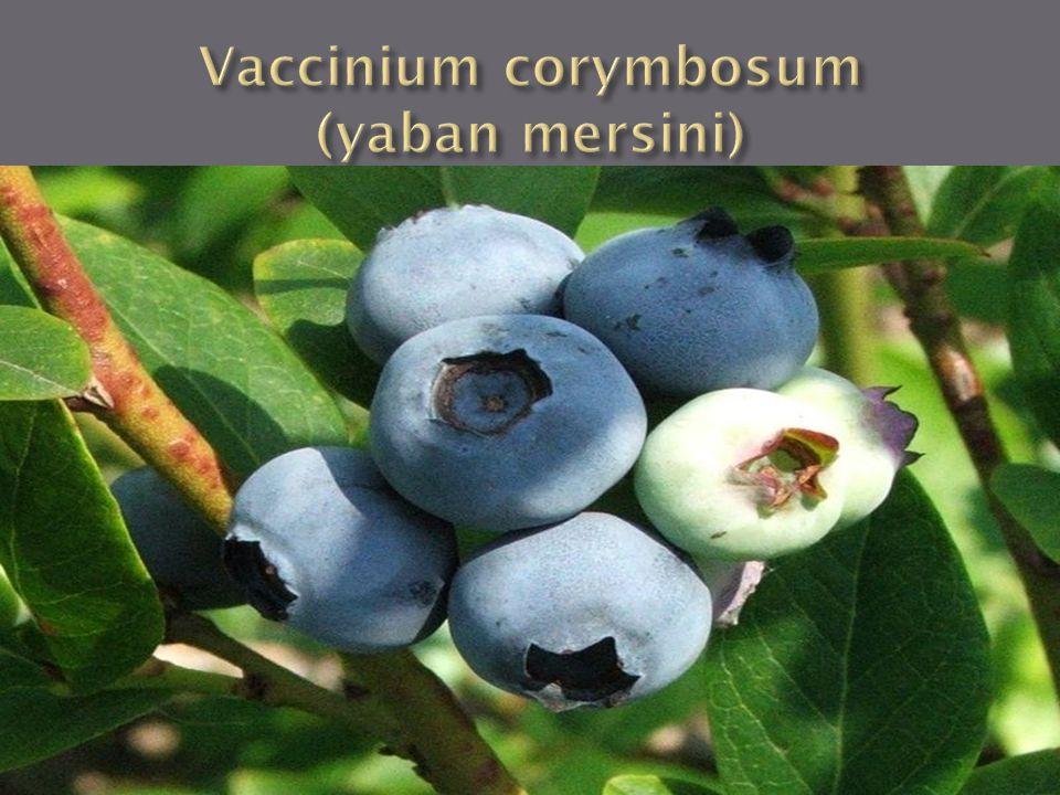 Vaccinium corymbosum (yaban mersini)