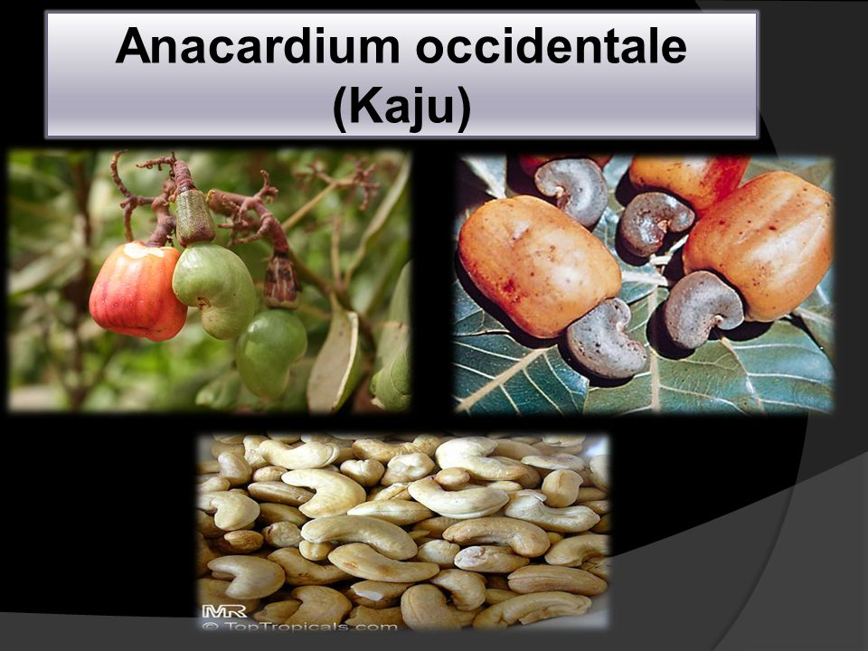 Anacardium occidentale (Kaju)