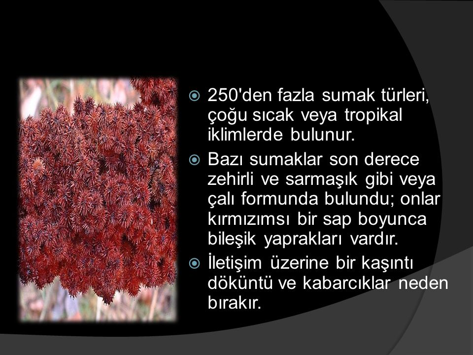 250 den fazla sumak türleri, çoğu sıcak veya tropikal iklimlerde bulunur.