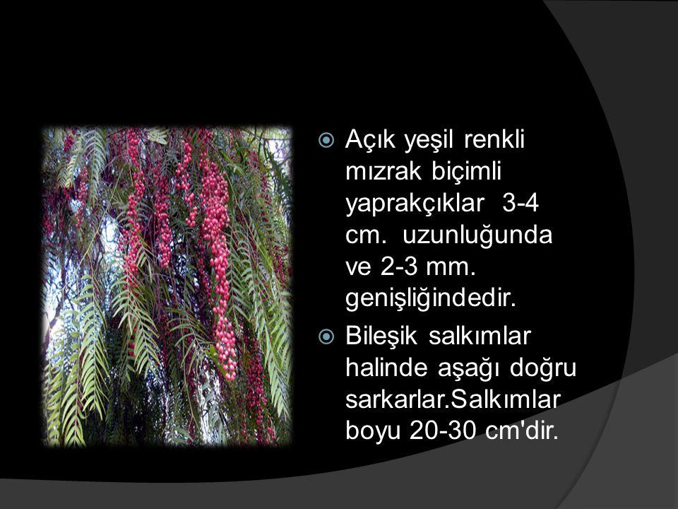 Açık yeşil renkli mızrak biçimli yaprakçıklar 3-4 cm