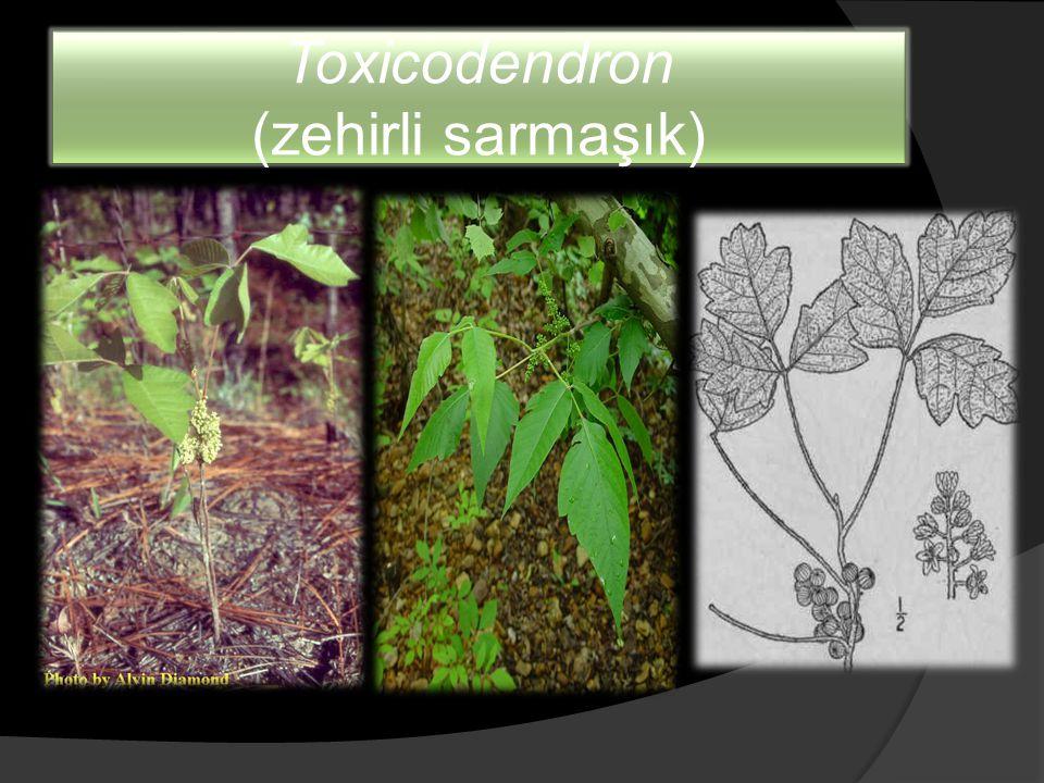 Toxicodendron (zehirli sarmaşık)