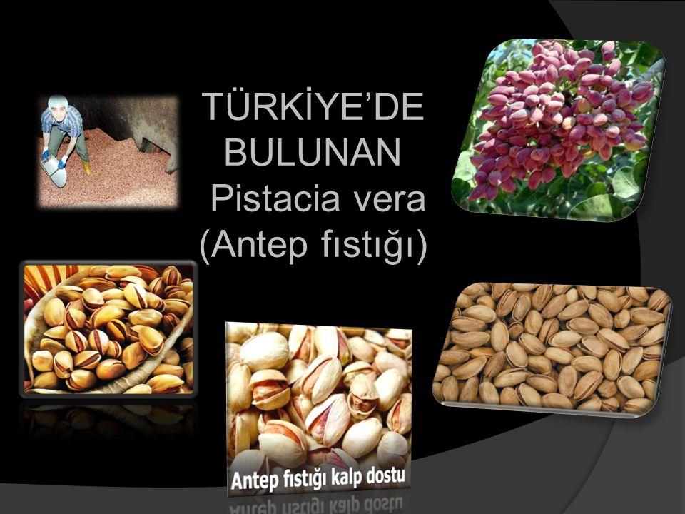 TÜRKİYE'DE BULUNAN Pistacia vera (Antep fıstığı)