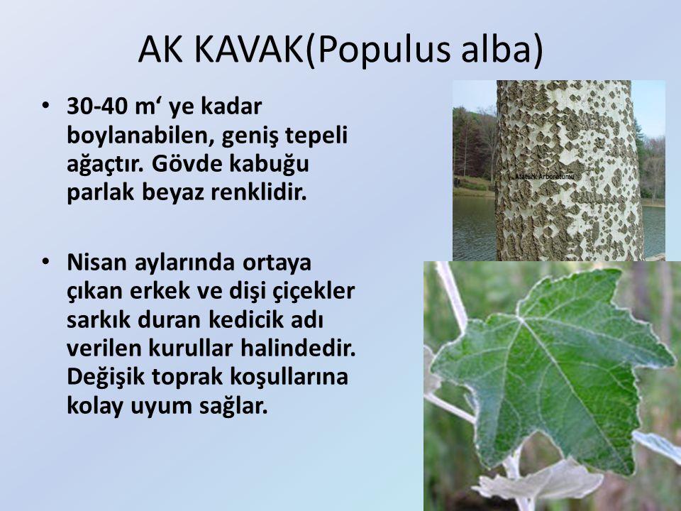 AK KAVAK(Populus alba)